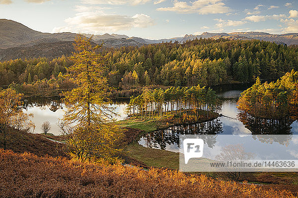 Autumn afternoon light at Tarn Hows  Lake District National Park  UNESCO World Heritage Site  Cumbria  England  United Kingdom
