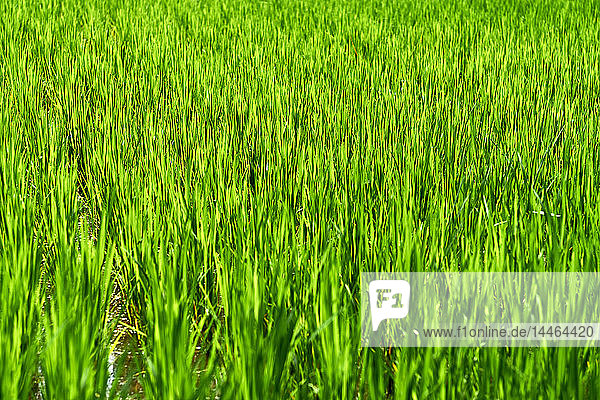 Green rice fields in Ubud  Bali  Indonesia  Southeast Asia