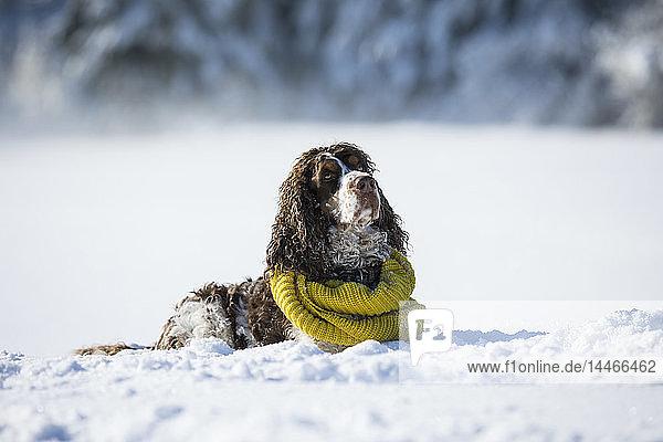 Englischer Springer Spaniel mit gelbem Schal auf schneebedeckter Wiese liegend