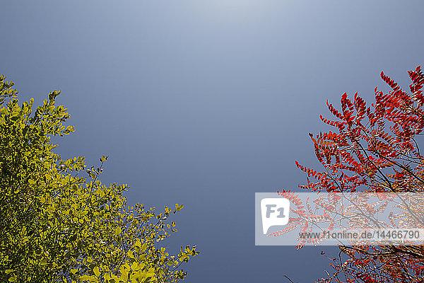 Baum mit grünem Sommerlaub und Baum mit rotem Herbstlaub vor blauem Himmel