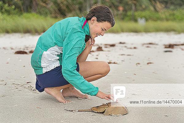 USA  Florida  Neapel  barfüssiges Mädchen berührt Kadaver einer Hufeisenkrabbe am Strand