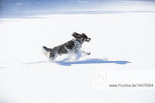 Englischer Springer Spaniel läuft auf schneebedeckter Wiese