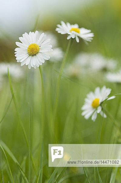 Blühende Gänseblümchen auf der Wiese
