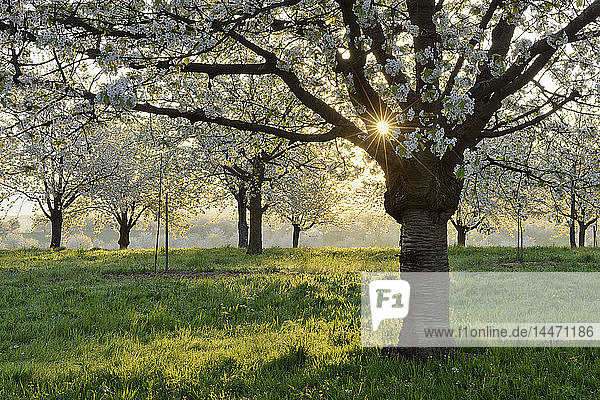 Germany  Black Forest  blossoming cherry trees in the morning