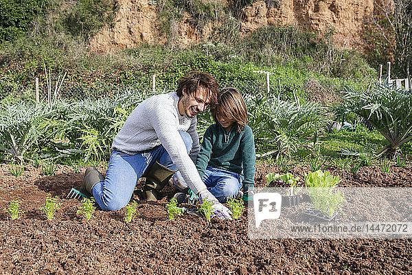 Vater und Sohn pflanzen Salatsetzlinge im Gemüsegarten