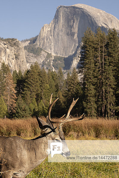 USA  California  Yosemite National Park  deer on a field with El Capitan in background
