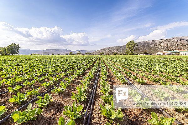 Spanien  Andalusien  Zaffaraya-Tal  Salatfeld