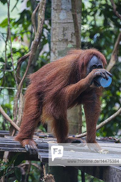 Indonesia  Sumatra  Bukit Lawang Orang Utan Rehabilitation station  feeding time for the Sumatran orangutan