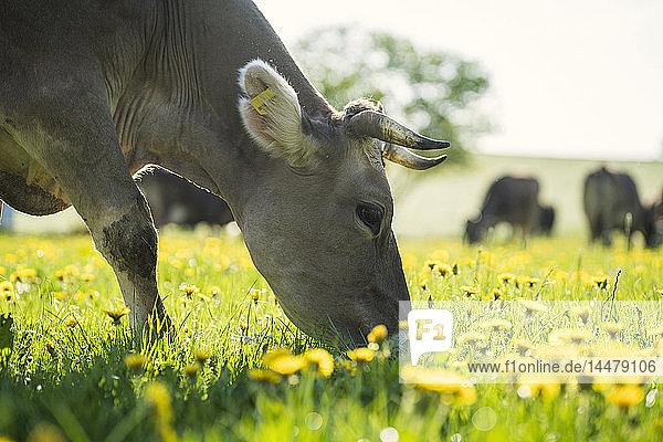 Kuh  die auf einer Wiese mit Löwenzahn grast