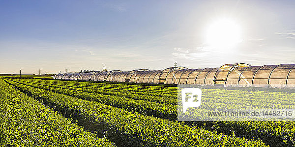 Deutschland  Fellbach  Gewächshaus- und Rucolapflanzen auf dem Feld