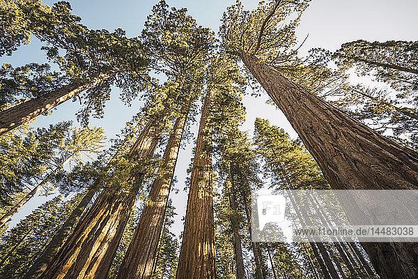 USA  Kalifornien  Yosemite-Nationalpark  Mariposa  Sequoias