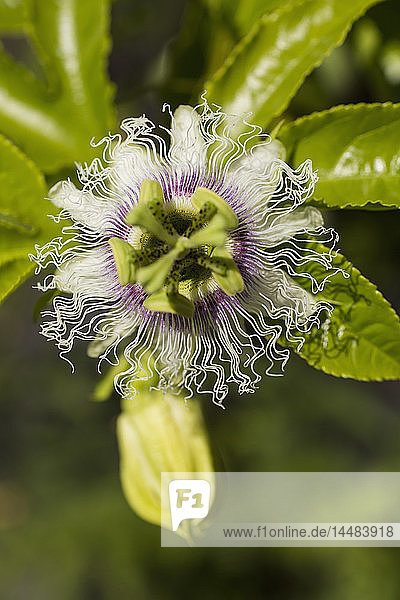 Close up lebendige grüne und weiße tropische Blume geöffnet