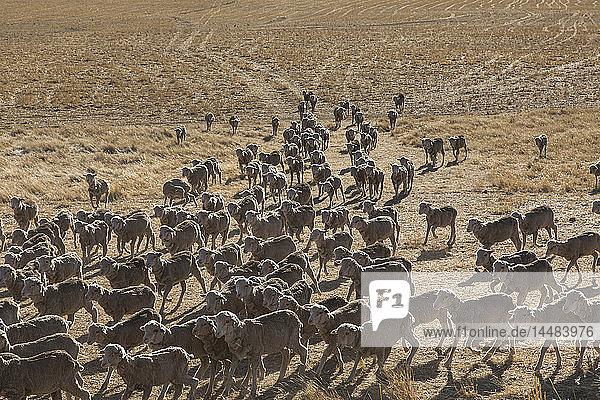 Merinoschafherde auf einem sonnigen  trockenen Feld  St. Arnaud  Victoria  Australien