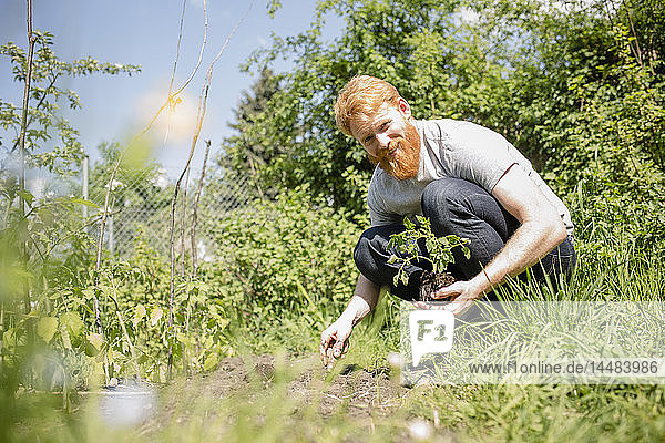 Portrait smiling man with beard planting sapling in sunny vegetable garden