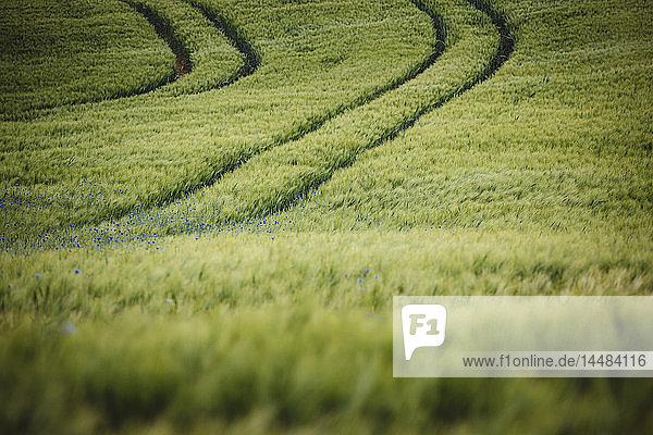 Idyllic  rural green wheat field with purple wildflowers  Brandenburg  Germany