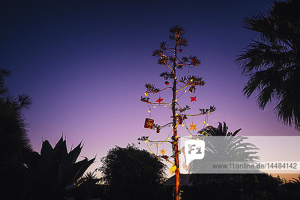 Agave blossom tree decorated with Christmas ornaments  Costa Teguise  Lanzarote  Spain