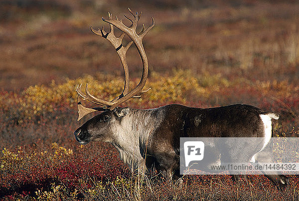 Adult Caribou Fall Interior Alaska
