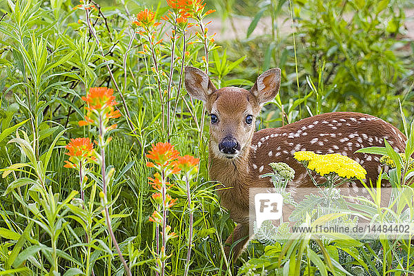 Closeup of baby white-tailed deer standing in wildflowers Minnesota Spring Captive
