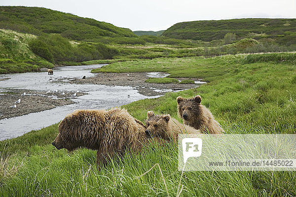 Grizzly sow and two cubs waiting to fish in Mikfik Creek at McNeil River during Summer in Southwest Alaska