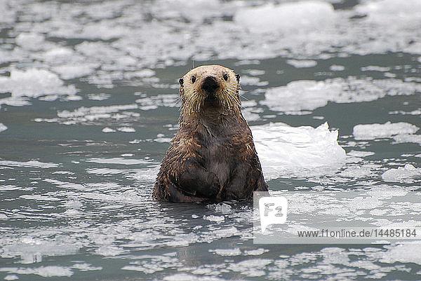 Sea Otter amongst an ice floe in Prince William Sound  Alaska