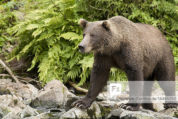 Adult Brown Bear standing on the rocky shore of Big River Lakes in Southcentral Alaska during Summer