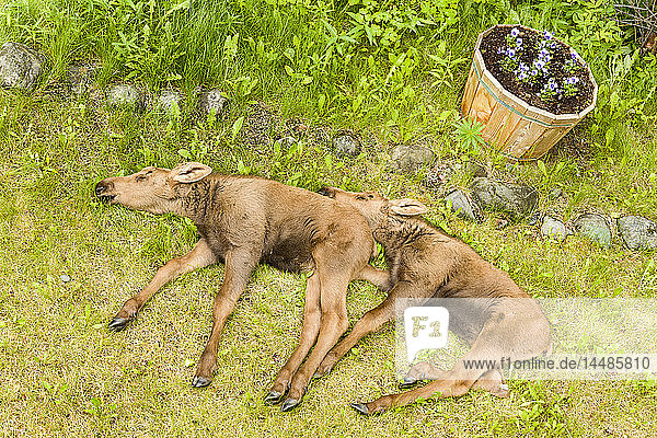 Sibling calf moose twins resting in yard in Eagle River in Southcentral Alaska  Spring