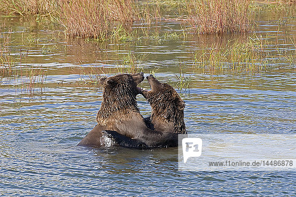 Two sub adult brown bears playfighting in Brooks River near Brooks Camp in Katmai National Park  Southwest Alaska  Fall