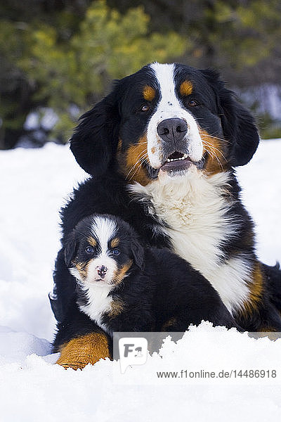 Adult and puppy Bernese Mountain Dog portrait in Winter