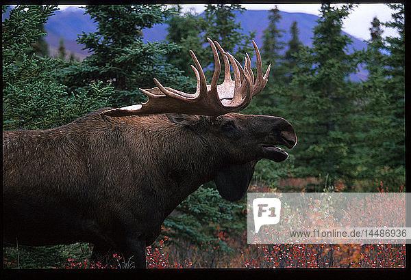 Bull Moose Denali Nat´l Park Southcentral Alaska Fall portrait
