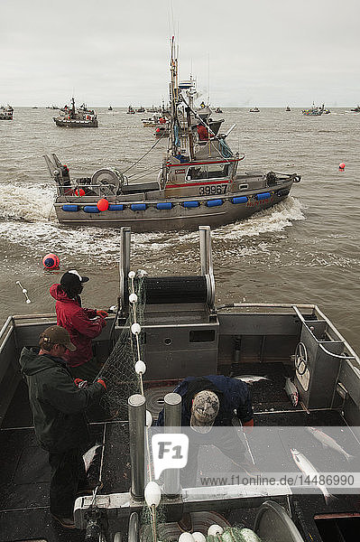 Crew pulls in their net while commercial fishing for Sockeye salmon  Bristol Bay  Southwest Alaska