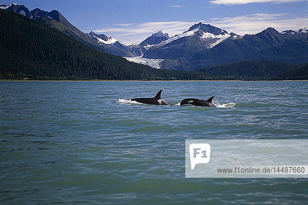 Pair of Orcas Swimming in Lynn Canal w/Coast Mtns AK Summer SE Eagle Glacier
