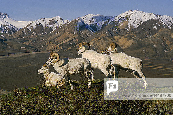 Group of Dall Sheep Rams on Ridge Polychrome Pass IN AK Summer Denali NP