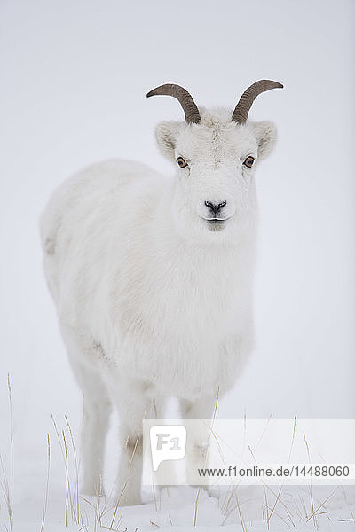 Close up of a Dall sheep ewe in winter on Sheep Mountain  Kluane National Park  Yukon Territory  Canada