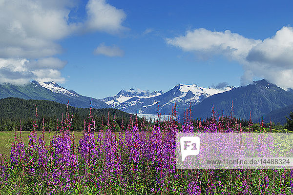 Scenic of Fireweed blooming in the Mendenhall Wetlands with the Coast Mountains in the background  Southeast Alaska