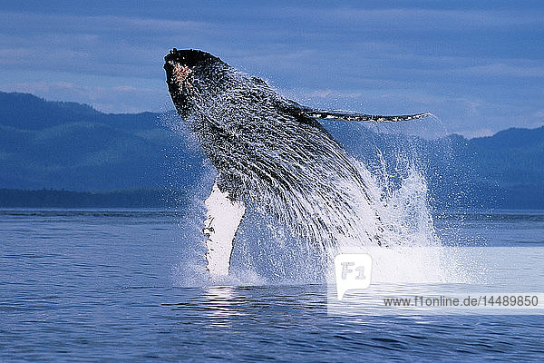 Humpback whale breaching Inside Passage Southeast AK summer scenic