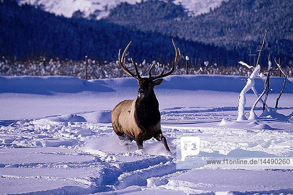 Bull Elk in Snow at Big Game Alaska Captive SC