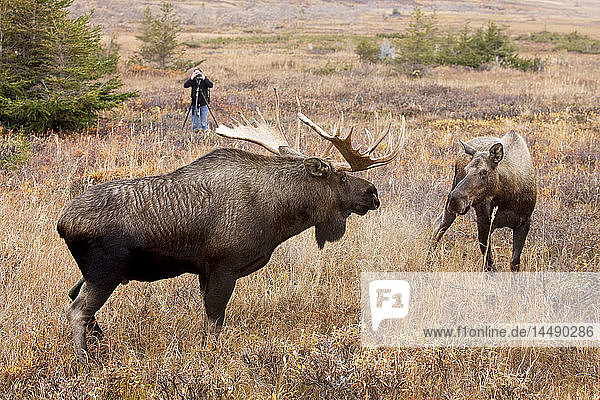 Photographer photographs a large bull moose approaching a cow moose during the rut season at Powerline Pass near Anchorage in Southcentral Alaska
