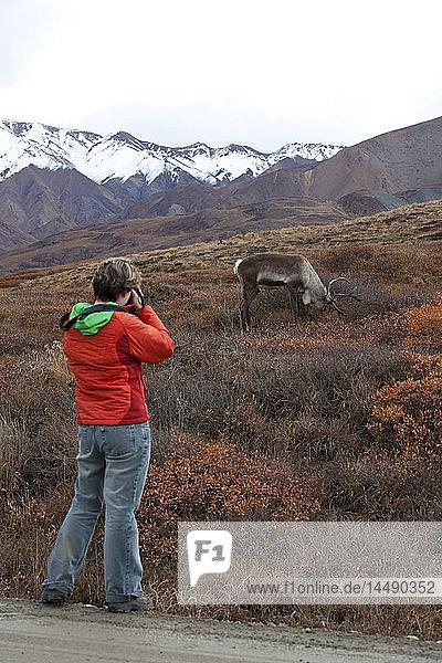 Female tourist photographs a caribou feeding on tundra in Autumn  Denali National Park  Interior Alaska