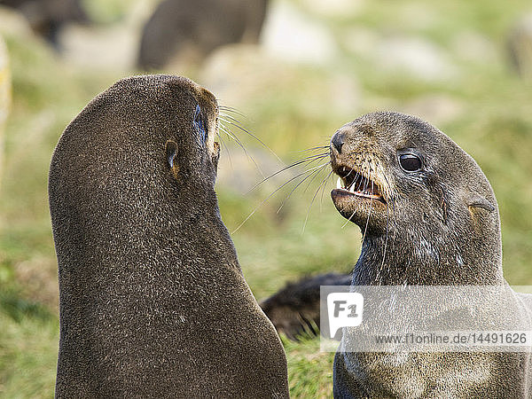 Two juvenile males Northern Fur Seals play fighting  St. Paul Island  Southwest Alaska  Summer