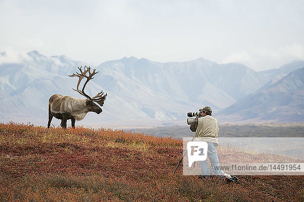 Man photographing a large bull caribou on a ridge in Denali National Park during Autumn in Interior Alaska