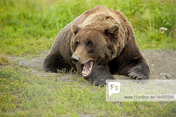 CAPTIVE adult Grizzly bear lays on grass and yawns  Alaska Wildlife Conservation Center  Southcentral Alaska