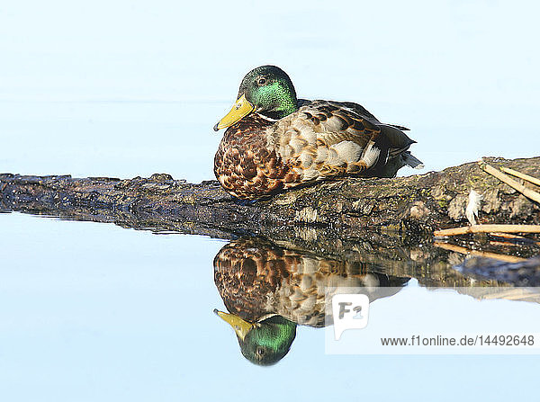 Mallard duck reflected in water