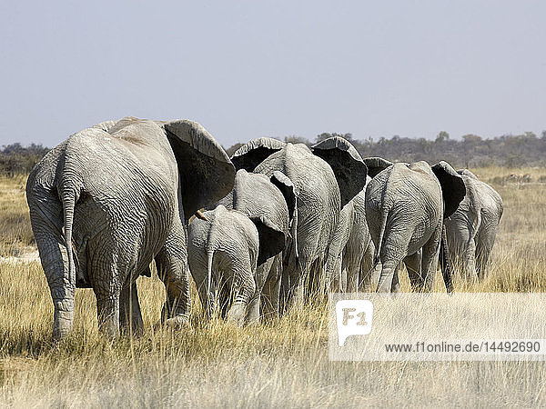 African Bush Elephant (Loxodonta africana) herd on plains