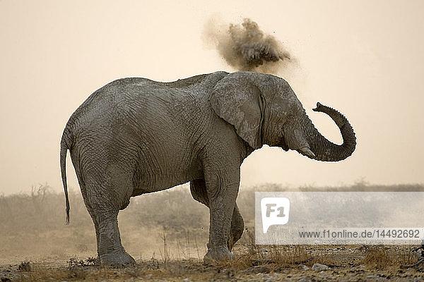 African Bush Elephant (Loxodonta africana) blowing sand