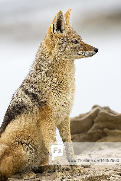 Black-backed Jackal (Canis mesomelas) profile