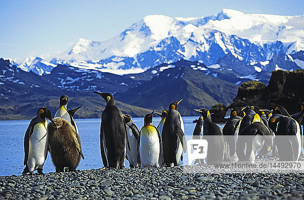 Group of royal penguins with snowcapped mountain ranges