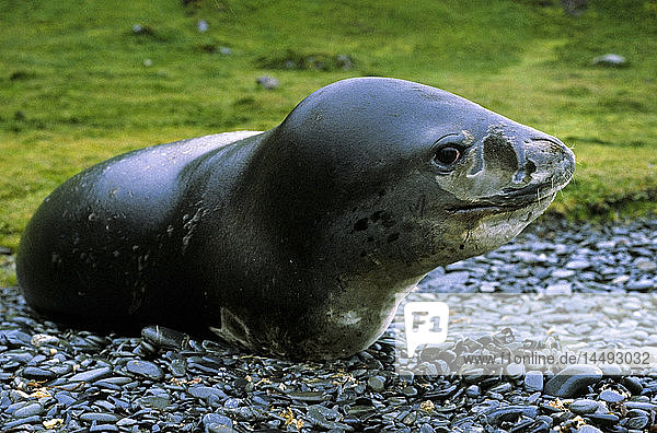 Leopard seal on rocky beach