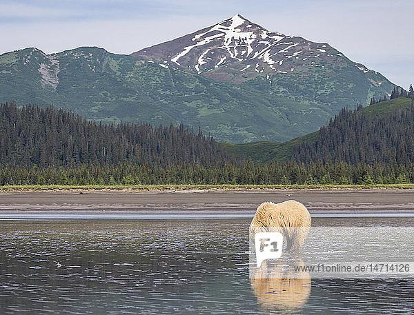 Bear walking at coast