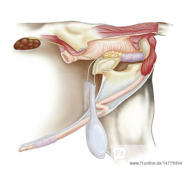 Stier Anatomie Zeichnung