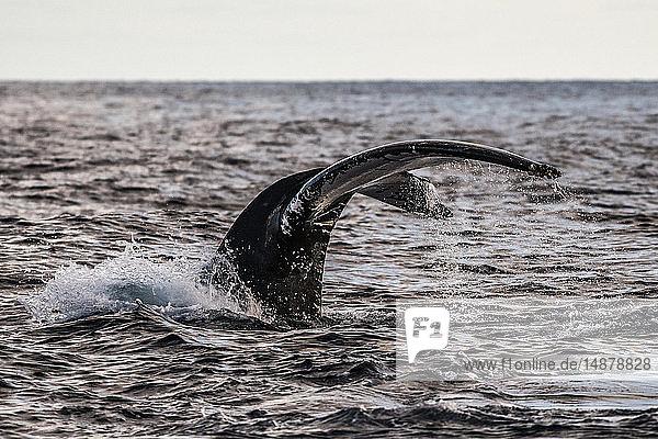Buckelwalfluken vor dem Tieftauchen